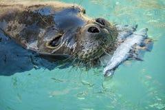 Hawaiian Monk Seal Stock Photography