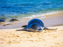 Hawaiian monk seal relaxes on the sand Royalty Free Stock Photo