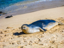 Hawaiian monk seal relaxes on the sand Royalty Free Stock Images