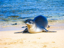 Hawaiian monk seal relaxes on the sand Royalty Free Stock Photos