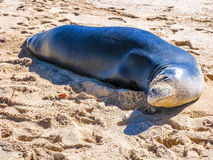 Hawaiian monk seal relaxes on the sand Royalty Free Stock Image