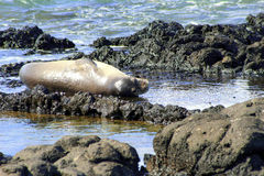 Hawaiian Monk Seal Royalty Free Stock Photo