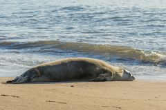 Hawaiian Monk Seal Resting on Beach. An endangered hawaiian monk seal resting on a Maui beach Royalty Free Stock Images