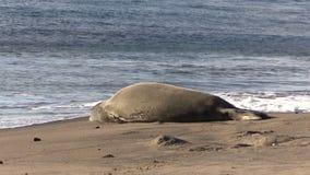 Hawaiian Monk Seal Resting on a Beach stock footage