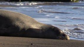 Hawaiian Monk Seal stock footage