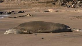 Hawaiian Monk Seal Resting stock footage