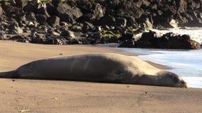 Hawaiian Monk Seal. A Hawaiian monk seal resting on a Maui beach stock video footage