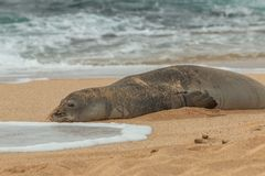 Hawaiian Monk Seal Resting on a Maui Beach. An endangered hawaiian monk seal resting on a Maui beach Royalty Free Stock Image