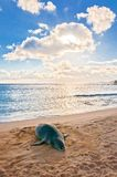 Hawaiian Monk Seal rests on beach at sunset in Kauai, Hawaii. An endangered Hawaiian Monk Seal rests on Poipu beach at sunset in Kauai, Hawaii royalty free stock photo