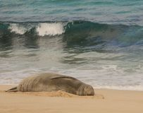 Hawaiian Monk Seal sleeping Royalty Free Stock Photos