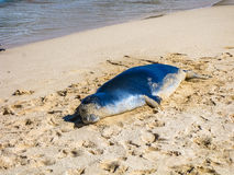 Hawaiian monk seal sleeping on the sand Royalty Free Stock Images