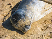 Hawaiian monk seal sleeping on the sand Stock Photography