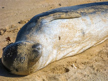 Seal lying Royalty Free Stock Photo