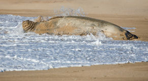 Hawaiian Monk Seal in Surf. Hawaiian Monk Seal lying in the surf on sandy beach Stock Image