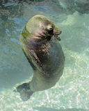 Hawaiian Monk Seal at Waikiki Aquarium. An adult Hawaiian Monk Seal relaxing in the water at the aquarium Stock Photography