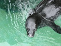 Hawaiian Monk Seal In Water. Top view of a Hawaiian Monk Seal (monachus schauinslandi) in the water Stock Photography