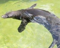Hawaiian Monk Seal Royalty Free Stock Image