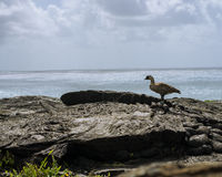 Hawaiian NeNe Bird, Lava and Ocean. Hawaiian Goose Standing on a Fresh Lava Flow with Ocean Stock Image
