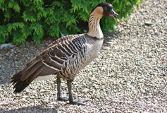 Hawaiian Nene Goose Stock Photo
