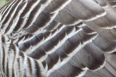 Hawaiian nene goose feathers, Kauai, Hawaii royalty free stock image