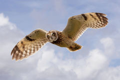 Hawaiian Owl (Pueo) In Flight Royalty Free Stock Photography
