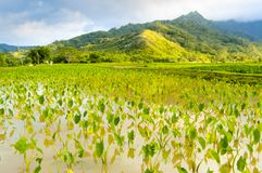 Hawaiian paddies panorama kawaii island united states. In summer Royalty Free Stock Images