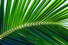 Hawaiian Palm Leaf. Taken during 2007 on the beach in Kailua, Hawaii Stock Images
