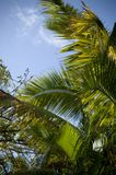 Hawaiian Palm trees. Of Oahu Hawaii Stock Photography
