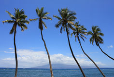 Hawaiian palm trees Royalty Free Stock Photography