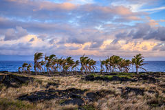 Hawaiian Palm Trees. A stand of palm trees endures near the cliffs above the ocean in the midst of a lava field from a past eruption Royalty Free Stock Image