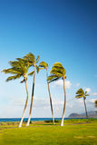 Hawaiian Palm Trees Blowing in the Wind Royalty Free Stock Images