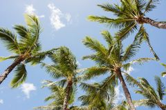 Hawaiian Palm Trees Royalty Free Stock Images