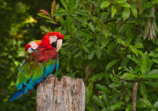 Hawaiian Parrots Stock Image
