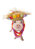 Hawaiian Pig Wearing Hat And Lei Stock Photo
