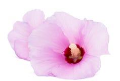 Hawaiian Pink Hibiscus Stock Images