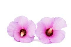 Hawaiian Pink Hibiscus Royalty Free Stock Photo