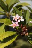 Hawaiian pink plumeria hybrid, frangipani blooms stock image