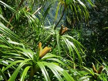 Hawaiian Plant, Ie Ie Vine Royalty Free Stock Image