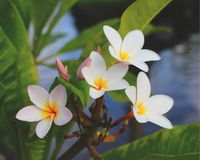 Hawaiian Plumeria Royalty Free Stock Images