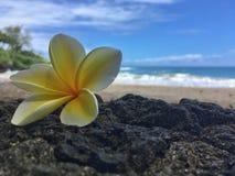 Hawaiian plumeria  flower on the beach. Plumeria flower on lava rock at a hawaiin beach Stock Photo
