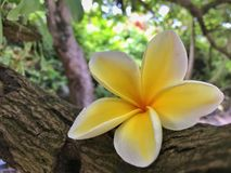 Hawaiian plumeria  flower on the beach Royalty Free Stock Image