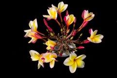 Hawaiian Plumeria Flower Stock Photos