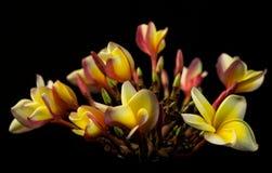 Hawaiian Plumeria Flower Royalty Free Stock Photo