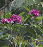 Hawaiian Plumeria Plant Stock Photo