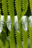 Hawaiian Rain Forest Fern. Abstract Detail of a fern in a rain forest in Hawaii Royalty Free Stock Photos
