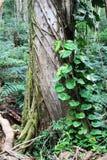 Hawaiian rainforest Royalty Free Stock Photography
