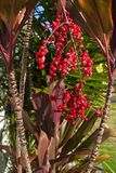 Hawaiian Red Ti Leaf and red berries. Tropical Red Ti Leaf Plant Stock Photos