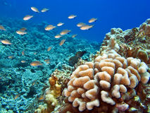 Hawaiian Reef with Coral and fish Royalty Free Stock Images