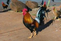 Hawaiian rooster kauai hawaii Stock Photos