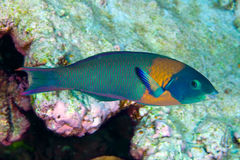 Hawaiian saddled wrasse Stock Image